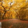 Tranh con đường hai hàng cây lá vàng 13568