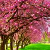 Tranh hàng cây hoa nở đẹp 13573