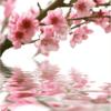 Tranh hoa đào 10498