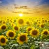 Tranh cánh đồng hoa hướng dương 32278