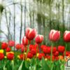 Tranh hoa Tulip đẹp 310