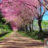 Tranh phong cảnh hàng cây Đào 211