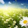 Tranh phong cảnh hoa cúc trắng 431