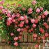 Tranh phong cảnh hoa hồng đẹp 381